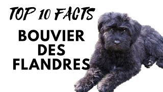 Bouvier des Flandres - Top 10 Interesting Facts