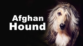 #1 Afghan Hound- Dog Dynasty