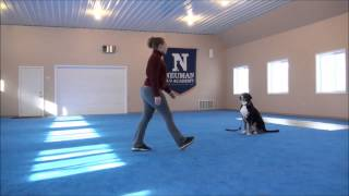 Charlotte (Greater Swiss Mountain Dog) Boot Camp Dog Training Video