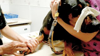 Injured Doberman Pinscher goes to Vet for Procedure