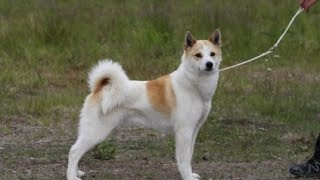 Norrbottenspets / Dog Breed