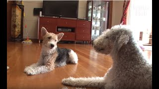 Why Everyone Needs A Bedlington Terrier And Fox Terrier Dog Together | Kritter Klub